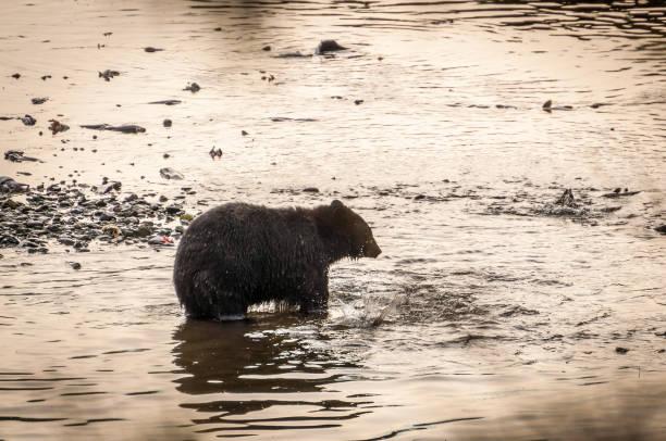 イーグル クリークのヒグマ - 水につかる ストックフォトと画像
