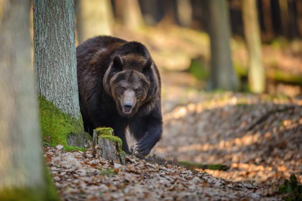 Braunbär im Wald – Foto