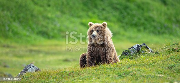 portrait of brown (grizzly) bear looking upwards from grassy bank