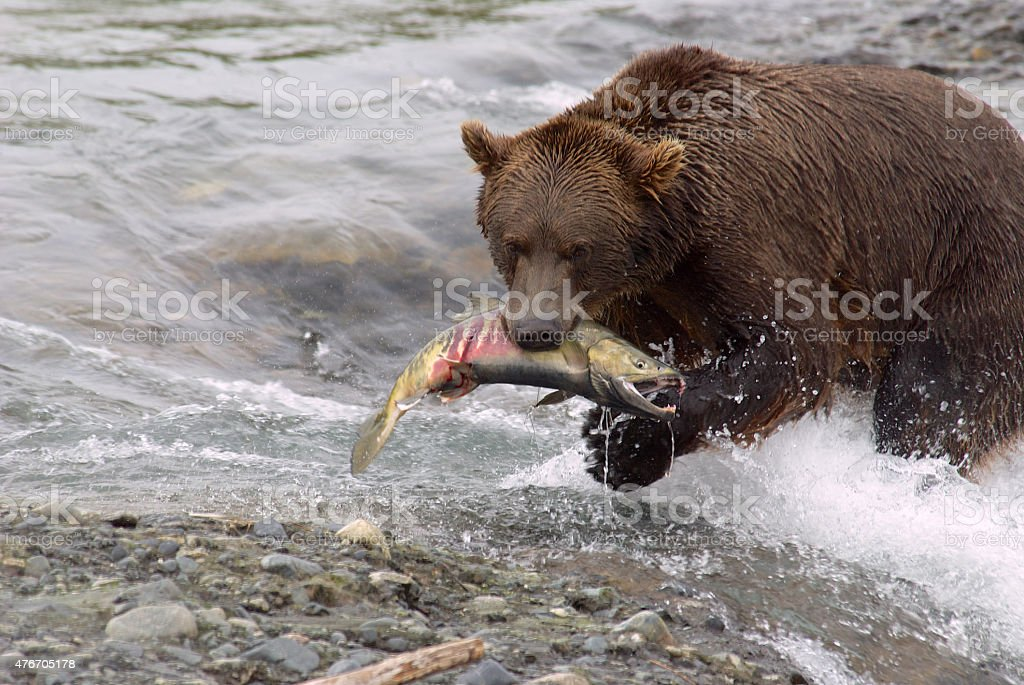 Brown Bear in River with Chum Salmon Visibile in Mouth stock photo