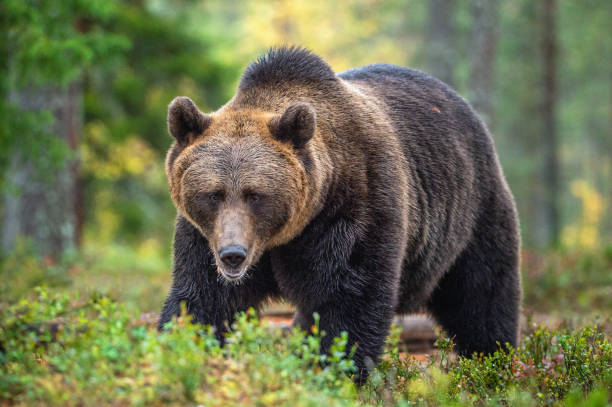Brown bear in the autumn forest. Natural habitat. stock photo