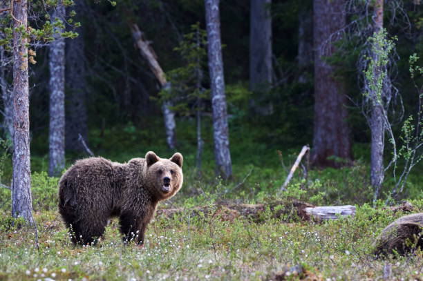 Brown bear in the finnish taiga stock photo