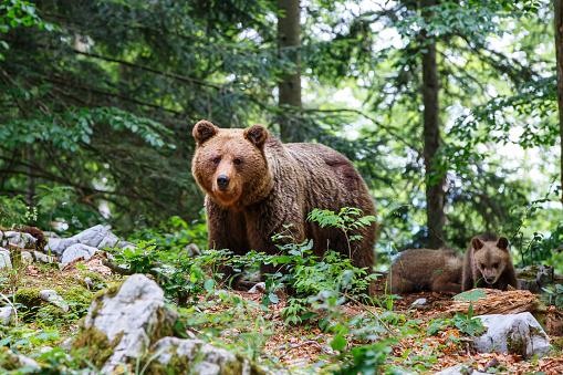 Wild brown bear mother with her cubs walking and searching for food in the forest and mountains of the Notranjska region in Slovenia