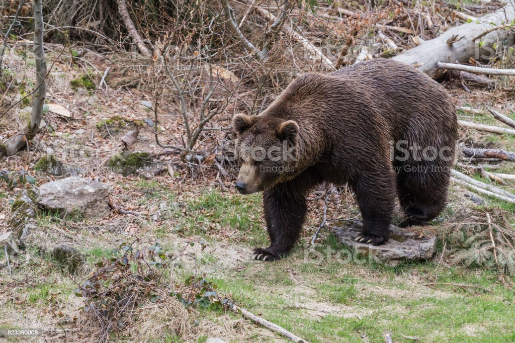 Brown bear in the forest. Big Brown Bear. Ursus arctos. stock photo