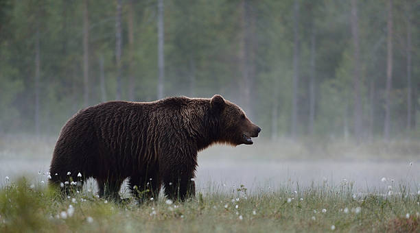 Brown bear in the misty bog Brown bear in the misty bog republic of karelia russia stock pictures, royalty-free photos & images