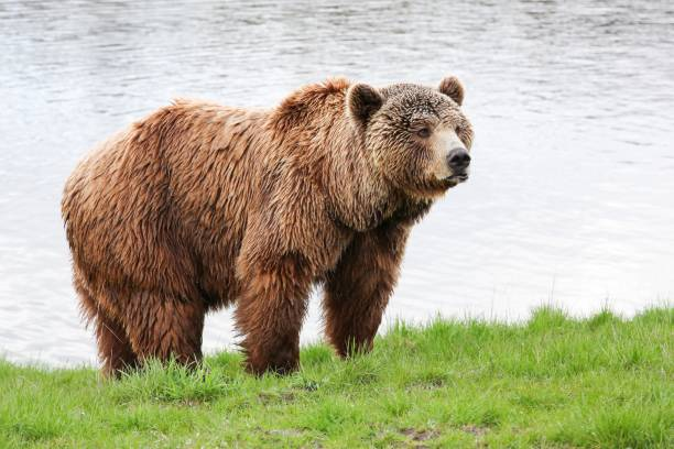 Brown bear in the nature stock photo