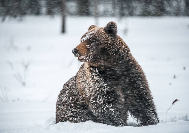 Brown bear in the snow blizzard in the winter forest. Snowfall. Scientific name:  Ursus arctos. Natural habitat. Winter season. stock photo