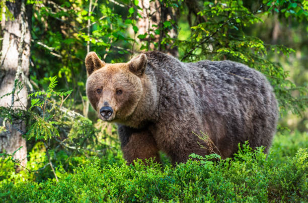 Brown bear in the summer forest. Green forest natural background stock photo