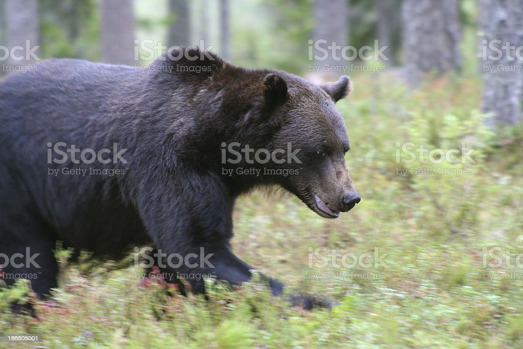 Brown bear in the Taiga royalty-free stock photo