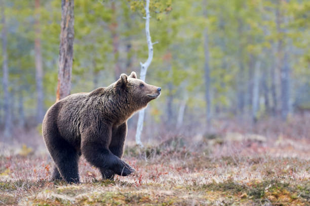 Brown bear in the taiga stock photo