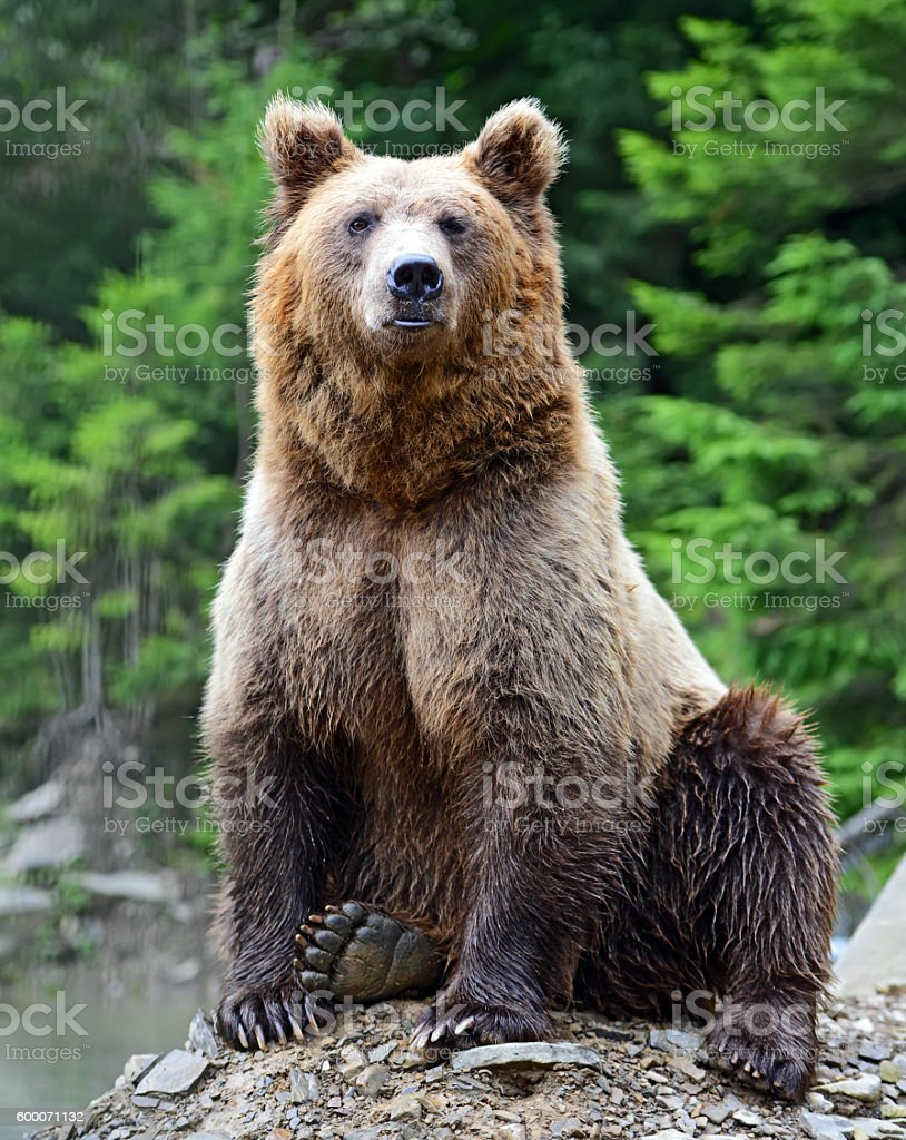 Brown Bear in the woods stock photo
