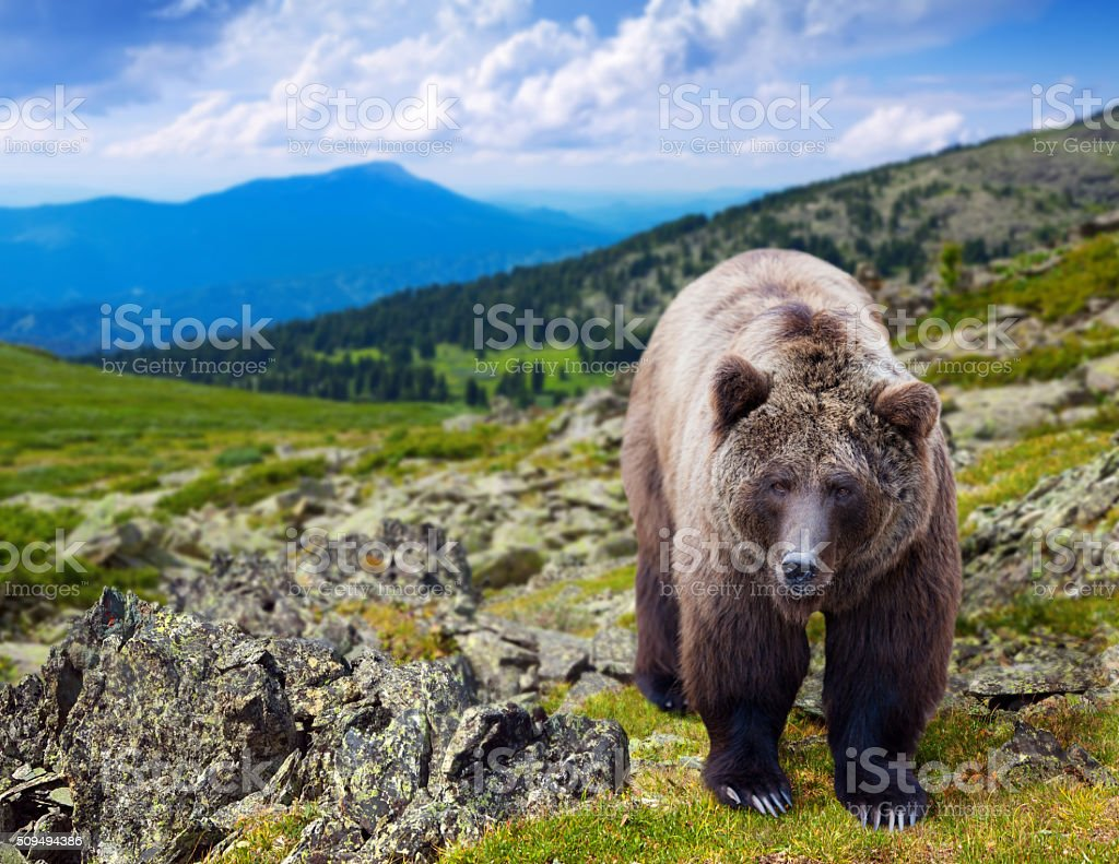 Brown bear in wildness stock photo