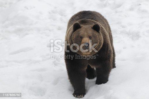 Brown bear in winter (Ursus arctos)