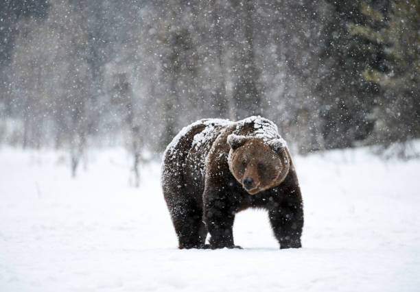 Brown bear in winter stock photo