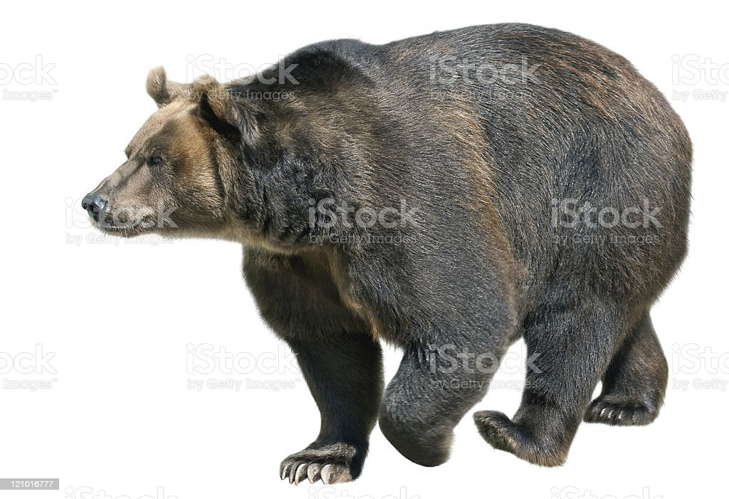 Brown bear isolated on white background stock photo