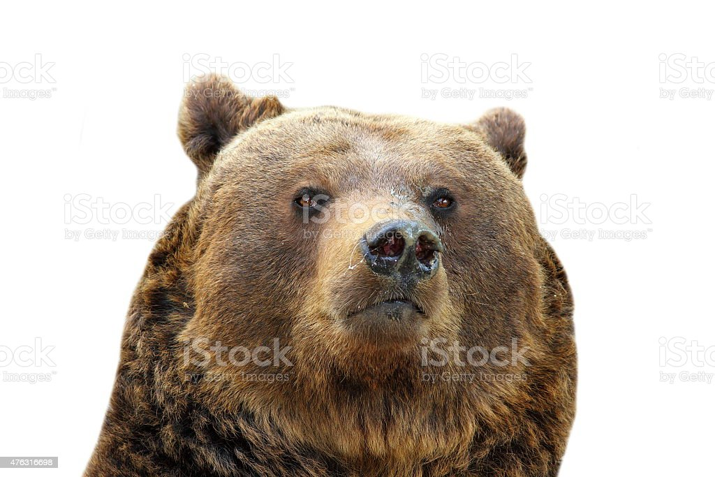 brown bear isolated portrait stock photo