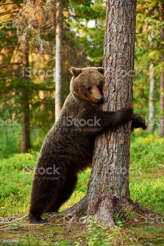 Urso pardo encostado em uma árvore - foto de acervo