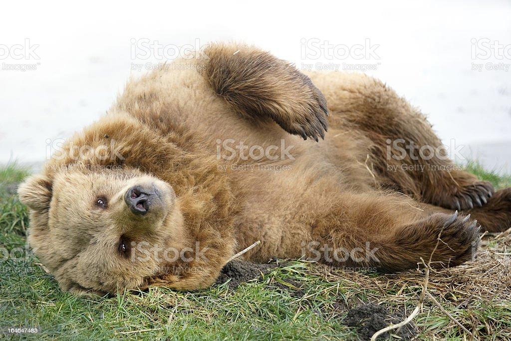 Brown Bear lying in Grass stock photo