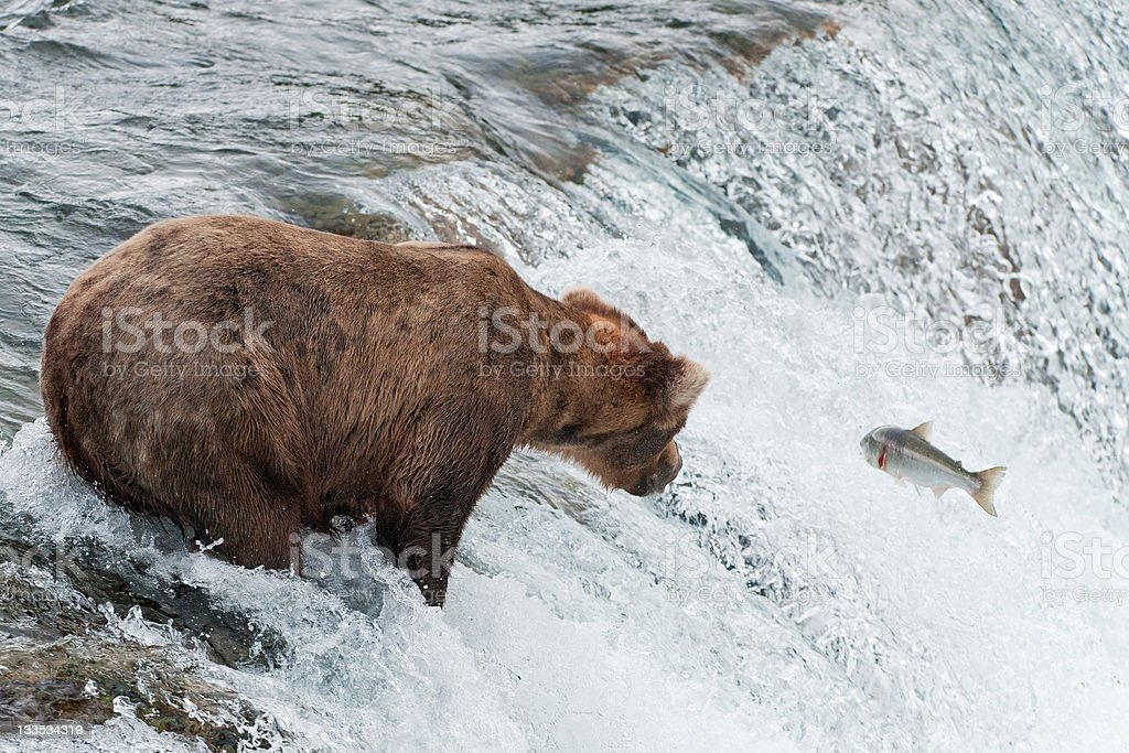 Brown bear missing a salmon catch stock photo