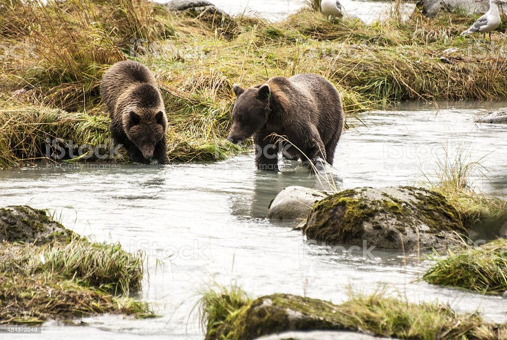 Brown Bear - Mother Teach Cub To Catch Fish royalty-free stock photo