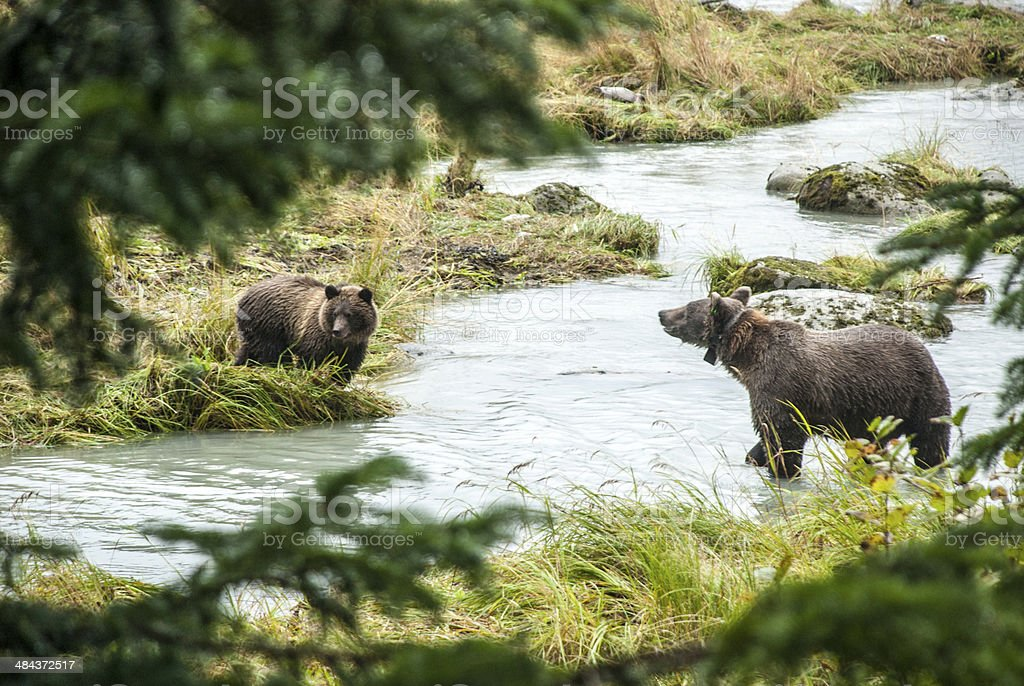 Brown Bear - Mother With Young Fishing royalty-free stock photo