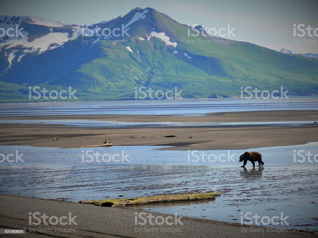Brown bear on beach in Hallo Bay, Katmai NP, AK stock photo