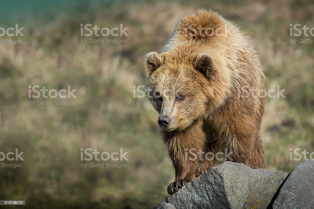 Brown Bear on Rocks stock photo