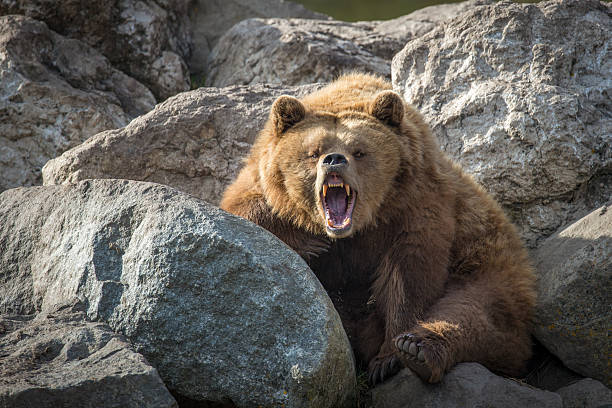 Brown Bear on Rocks Brown Bear doing a really big Yawn animal mouth stock pictures, royalty-free photos & images