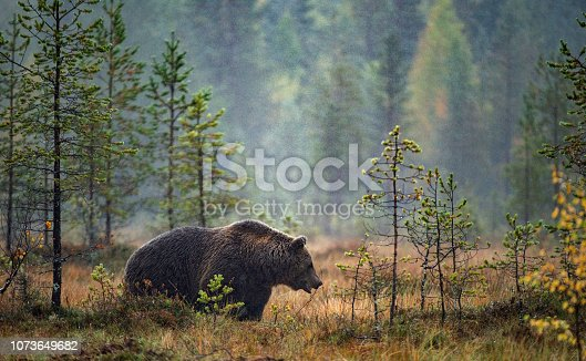 A brown bear on the bog in the autumn forest. Adult Big Brown Bear Male. Scientific name: Ursus arctos. Natural habitat, autumn season.