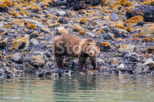 Brown bears (Ursus arctos) are often seen from ships on the shoreline of Glacier Bay National Park
