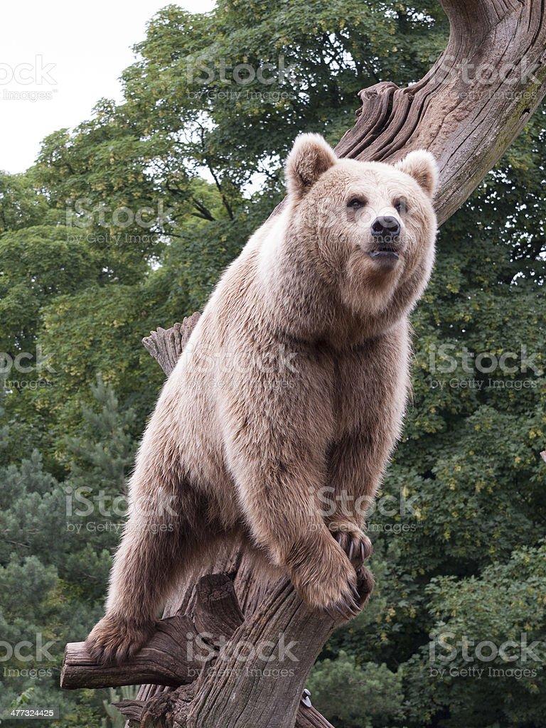 Brown Bear on Treetrunk royaltyfri bildbanksbilder