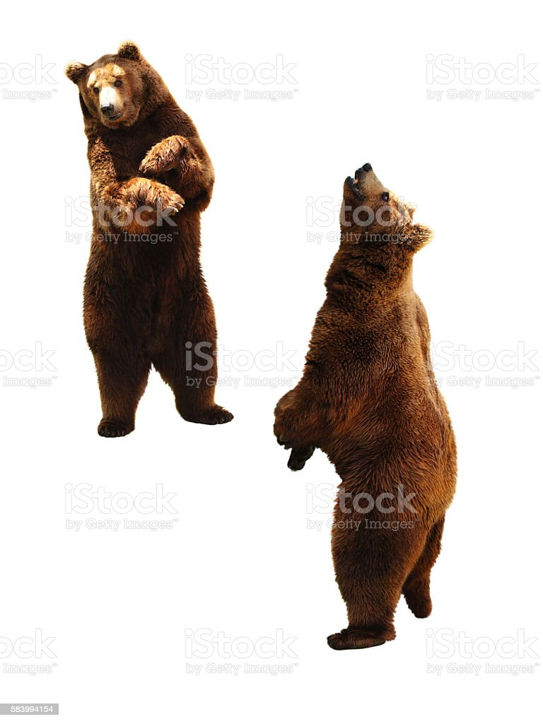 Brown bear on white. stock photo