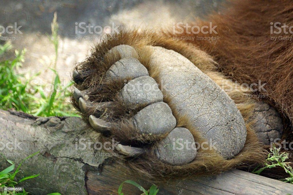 Brown bear paw stock photo