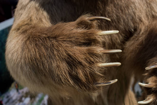 Brown Bear Paw With sharp Claws stock photo