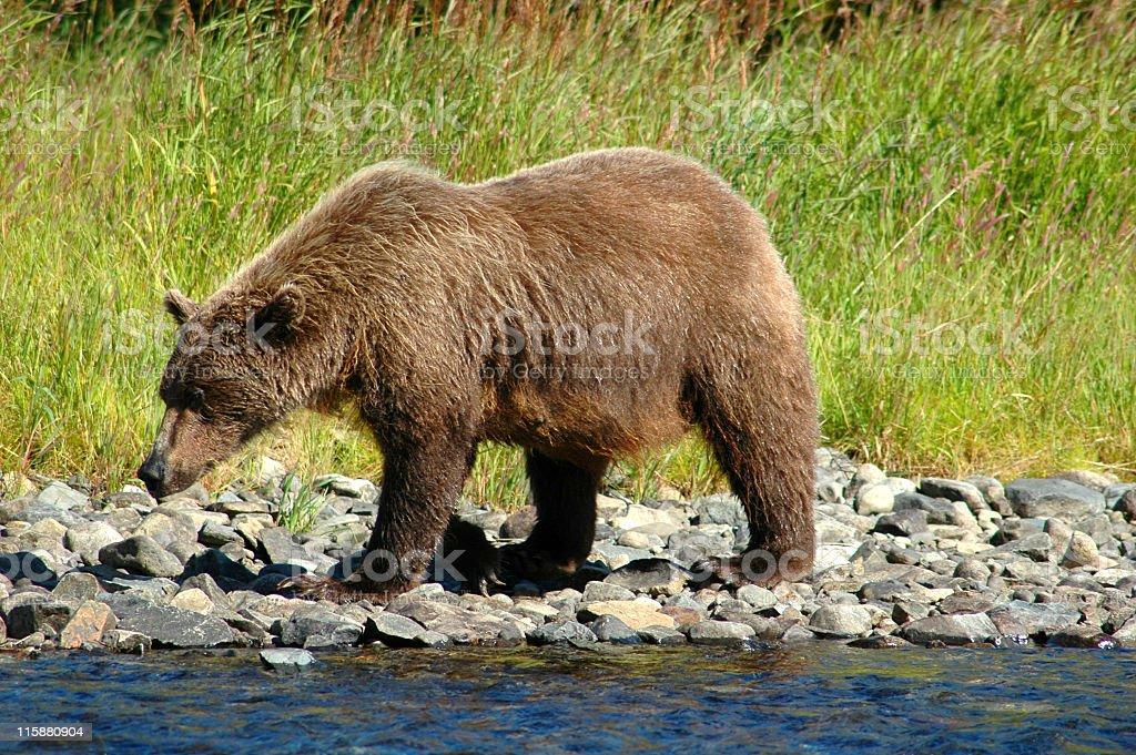 Brown Bear. stock photo