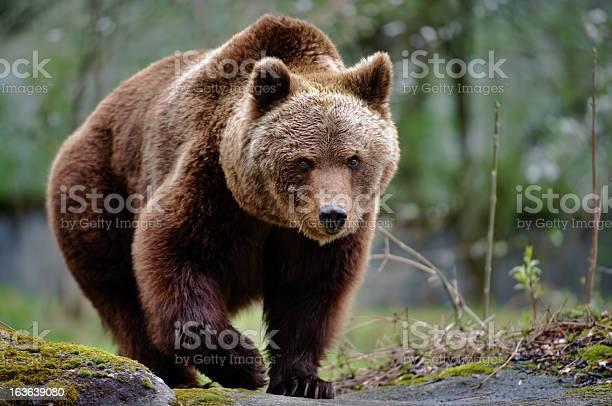 an  approaching brown bear
