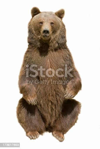 Sitting brown bear isolated on a white background. RAW-file developed with Adobe Lightroom. Please have a look at my other brown bear photos.