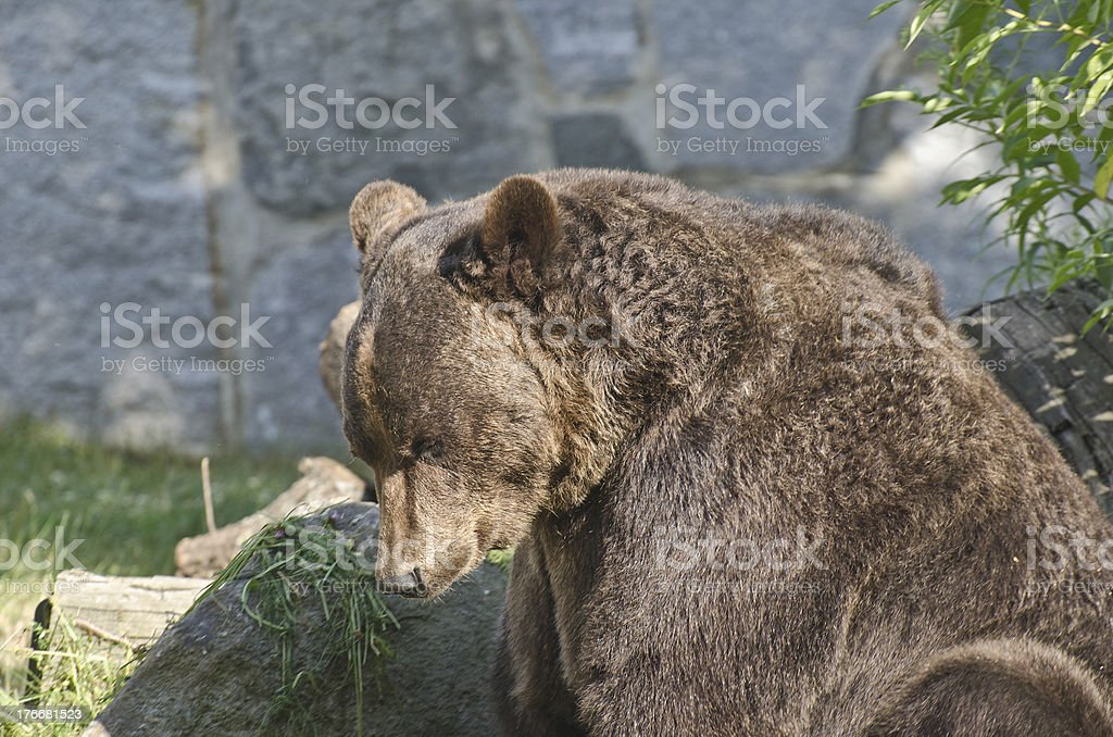 Braunbär royalty-free stock photo