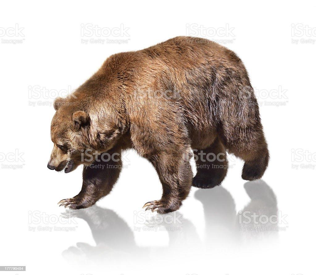 Brown Bear royalty-free stock photo