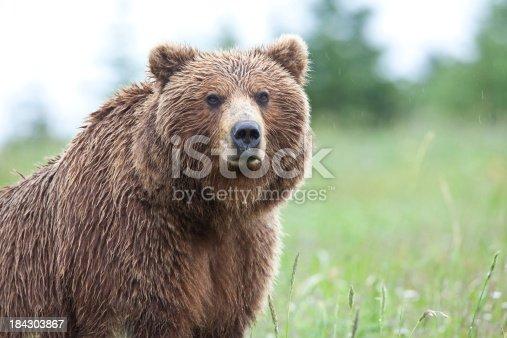 Alaska Brown Bear in the wild on a rainy day