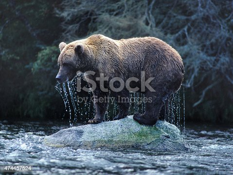 an Alaskan Brown Bear climbs out of the Brooks River onto a rock after fishing for salmon.