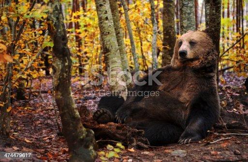 istock Brown bear 474479617