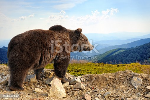 Big brown bear (Ursus arctos) in the mountain
