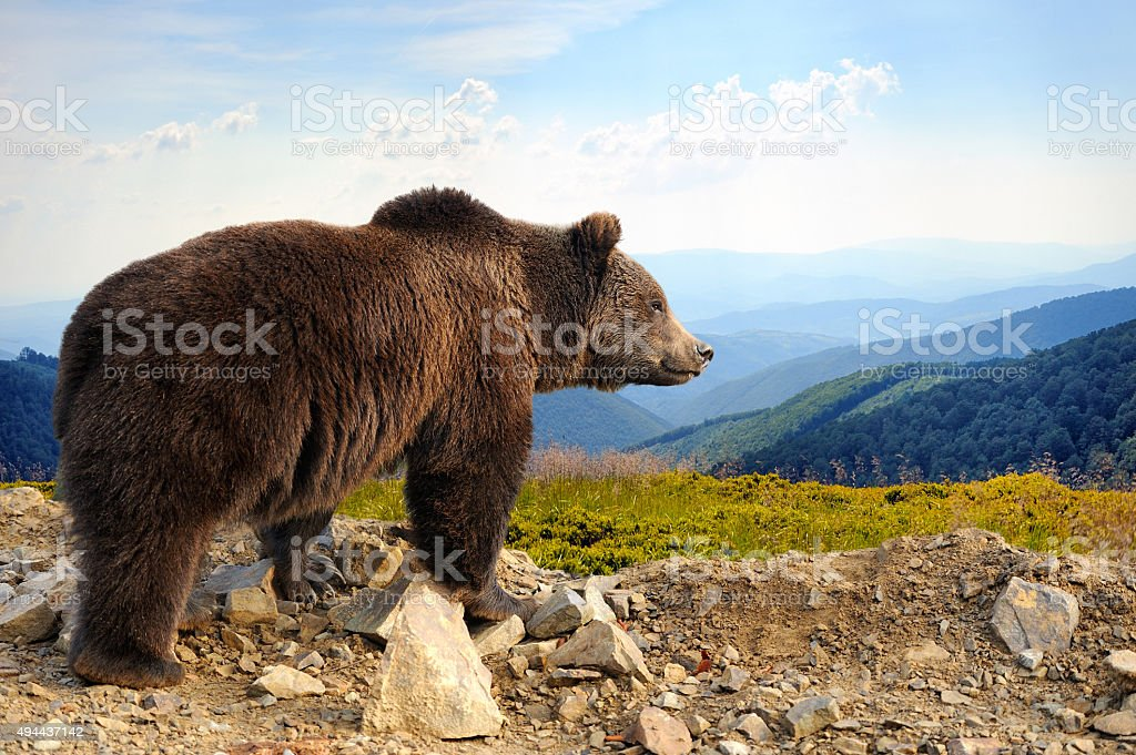 Brown oso - foto de stock