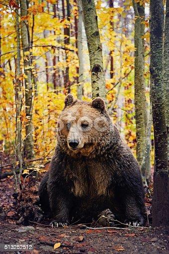 istock Brown bear 513252512