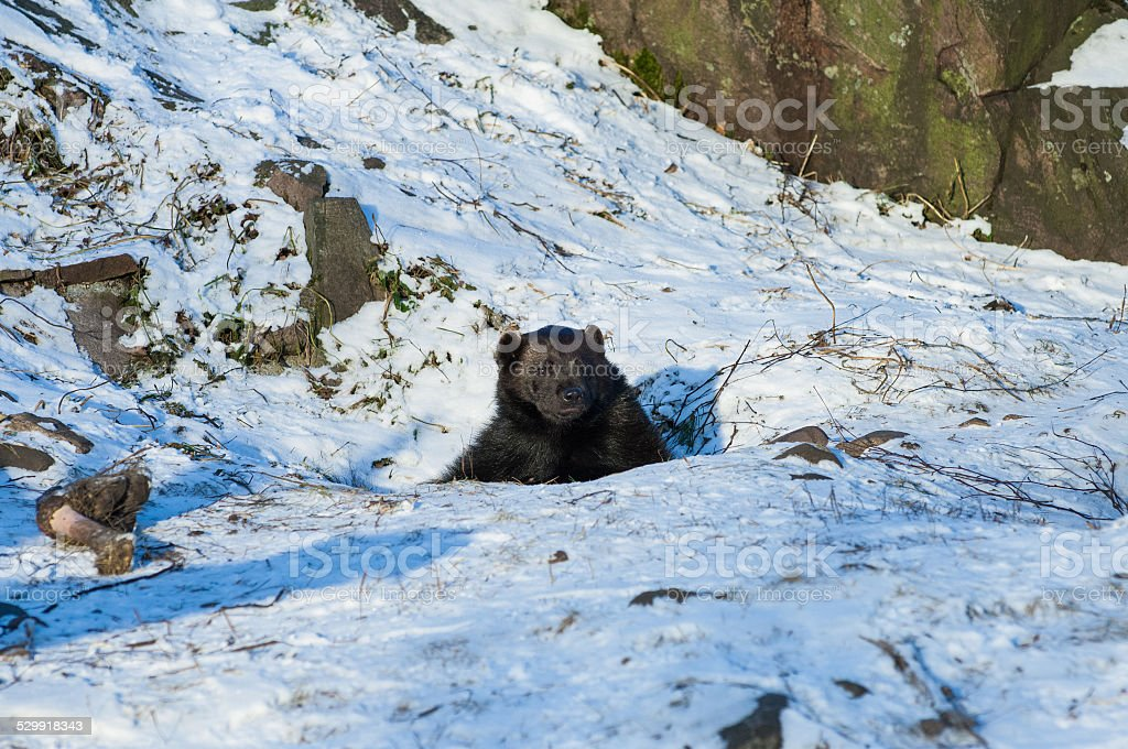 Brown bear (Ursus arctos) stock photo