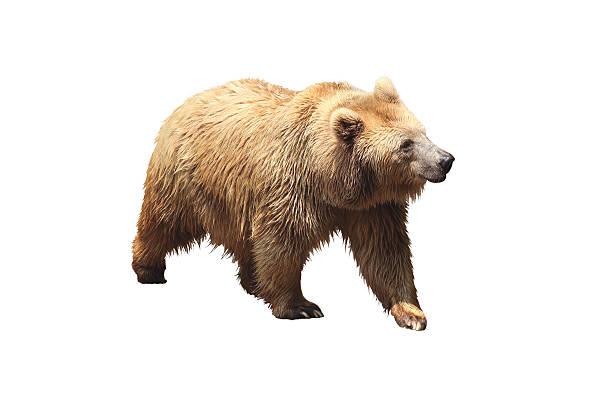 ours brun - grande ourse photos et images de collection