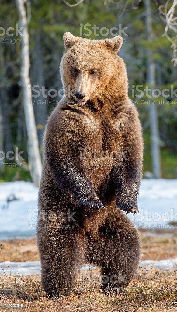 Urso-pardo  - foto de acervo
