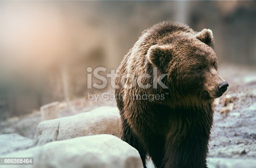 Brown wild bear in nature. Beautiful grizzly.