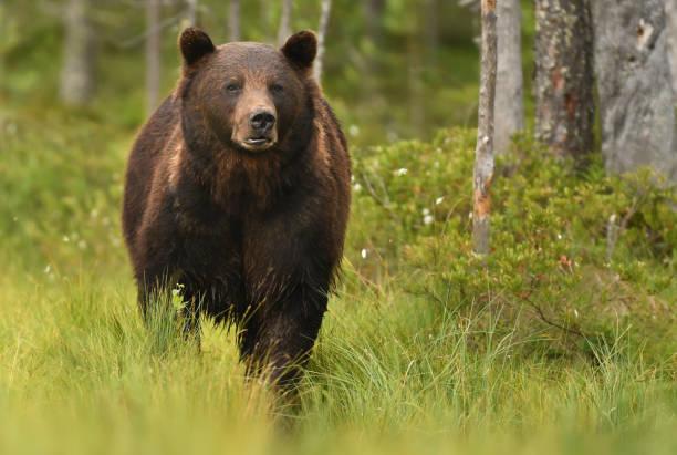 brown oso  - oso fotografías e imágenes de stock